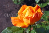 UK, LONDON, Regent's Park, Rose Gardens, orange rose, UK15023JPL