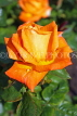 UK, LONDON, Regent's Park, Rose Gardens, orange rose, UK15027JPL