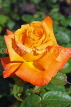 UK, LONDON, Regent's Park, Rose Gardens, orange rose, UK15028JPL