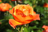 UK, LONDON, Regent's Park, Rose Gardens, orange rose, UK15046JPL