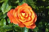 UK, LONDON, Regent's Park, Rose Gardens, orange rose, UK15122JPL