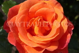 UK, LONDON, Regent's Park, Rose Gardens, orange rose, UK15123JPL