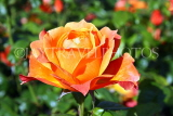 UK, LONDON, Regent's Park, Rose Gardens, orange rose, UK15134JPL