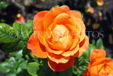 UK, LONDON, Regent's Park, Rose Gardens, orange rose, UK15136JPL
