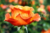 UK, LONDON, Regent's Park, Rose Gardens, orange rose, UK15137JPL
