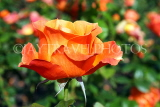 UK, LONDON, Regent's Park, Rose Gardens, orange rose, UK15138JPL