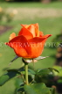 UK, LONDON, Regent's Park, Rose Gardens, orange rose, UK15140JPL
