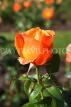 UK, LONDON, Regent's Park, Rose Gardens, orange rose bud, UK15044JPL