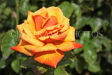 UK, LONDON, Regent's Park, Rose Gardens, orange rose in full bloom, UK15126JPL
