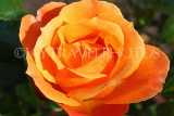 UK, LONDON, Regent's Park, Rose Gardens, orange rose in full bloom, UK15139JPL