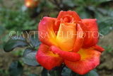 UK, LONDON, Regents Park, Rose Garden, red and orange Rose, UK7382JPL