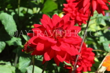 UK, LONDON, Temple (nr Fleet Street), Inner Temple Gardens, dahlia flowers, UK29453JPL