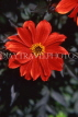 UK, Sussex, Arundel, red Dahlia, UK7444JPL