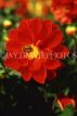 UK, Sussex, Arundel, red Dahlia, UK7446JPL
