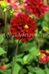 UK, Sussex, Arundel, red Dahlia, UK7448JPL
