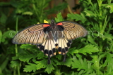 UK, Warwickshire, STRATFORD-UPON-AVON, Butterfly House, Great Mormon butterfly, UK25667JPL