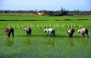 VIETNAM, Hoi An, farmers in rice (paddy) fields, VT156JPL