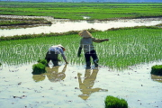 VIETNAM, Hoi An, rice field, farmers planting young plants, VT466JPL