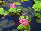 Virgin Islands (US), ST THOMAS, Water Lily, CAR1319JPL